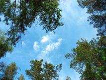 Birch and pine tops against blue sky Royalty Free Stock Images