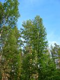 Birch and pine tops against blue sky Royalty Free Stock Photo