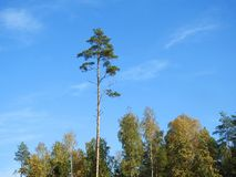 Birch and pine tree in forest, Lithuania royalty free stock photography