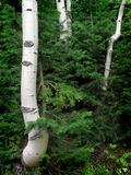 Birch and Pine Trees Stock Images