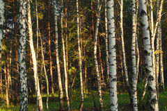 Birch and pine trees. In the forest Royalty Free Stock Photos