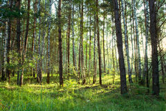 Birch and pine trees. In the forest Stock Images