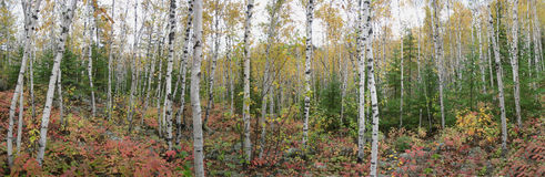 Birch and Pine Trees Stock Photography