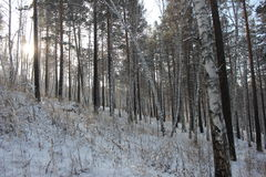 Birch and pine. Winter forest photo Stock Image