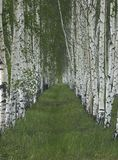 Birch planting. Perspective between two rows of birch trees Royalty Free Stock Photos
