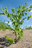 Birch plants on sand soil Stock Photos