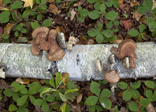 Birch polypore mushroom Stock Photo