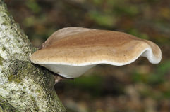 Birch Polypore Royalty Free Stock Photo
