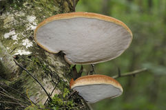 Birch Polypore Stock Photography