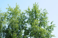 Birch and poplar branches Royalty Free Stock Image