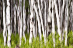 Birch or quaking aspen Royalty Free Stock Photo