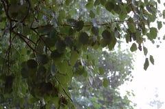 Birch on rain Stock Photo