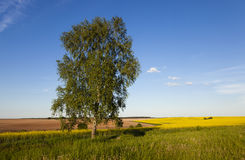Birch in rape field. Lonely birch in a field in which rape blossoms. In the background, a plowed field. The Summer Stock Image