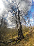 Birch in a ravine at the beginning of spring Stock Image