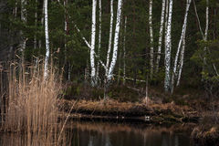 Birch reflections in water Royalty Free Stock Images