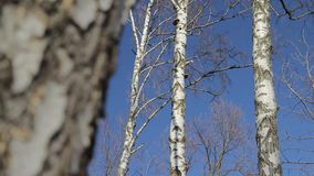 Birch with refocus. Birch tree trunk close-up with refocus to another birches in background stock video