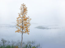 Birch by river in autumn Royalty Free Stock Photos