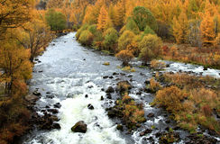 Birch and river. Beautiful birches in autumn ,china Stock Photography