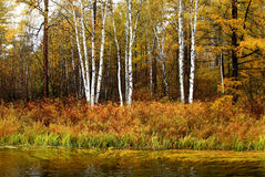 Birch and river. Beautiful birches in autumn ,china Royalty Free Stock Image