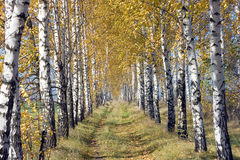 Birch road Royalty Free Stock Image