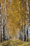 Birch road Royalty Free Stock Images