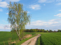 Birch and road in spring Stock Photography