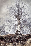 Birch with roots Stock Photo