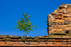 Birch on ruins Stock Images