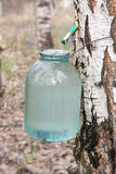 Birch sap. Gathering of birch sap in a spring wood Royalty Free Stock Image