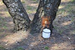 Birch sap. Royalty Free Stock Photo