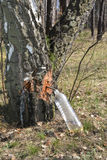 Birch sap. Stock Images