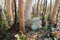 Birch SAP dripping into the jar . Sibir ,Yugra. Stock Image