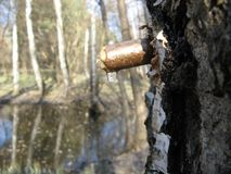 Birch sap in spring royalty free stock photo