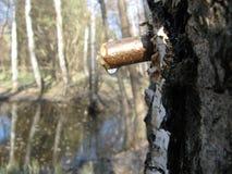 Birch sap in spring 3 stock photo