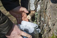 Free Birch Sap Tapping In The Spring. Man`s Hands Holding A Jar With Birch Sap. Close Up Royalty Free Stock Image - 213232546