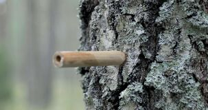 Birch sap tapping in the spring. hit wooden tap in tree trunk