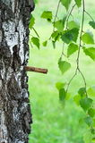 Birch sap Stock Images