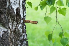 Birch sap Royalty Free Stock Image