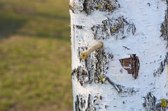 Birch sap Stock Image