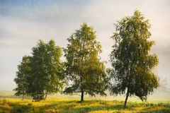 Birch. Several deciduous trees amid meadows Stock Image