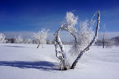 Birch in the shape of heart stock image