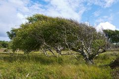 A birch shaped by the wind. A birch (Betula sp.) that has bee shaped by years of coastal winds on the Koster Archipelago on the Swedish west coast Royalty Free Stock Photos