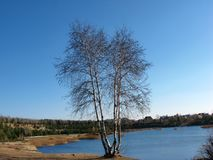 Birch on the shore stock photography