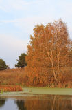 Birch on shore of small pond Stock Photography