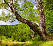 Birch at the Small Arber Lake. In National Park Bavarian Forest - Germany Royalty Free Stock Image