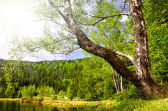 Birch at the Small Arber Lake in National Park Bavarian Forest Royalty Free Stock Images