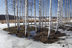 Birch in snow in spring Stock Image
