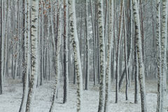 Birch snowy woodland Royalty Free Stock Image