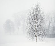 Birch in soft morning fog Royalty Free Stock Photography