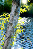 Birch in Spring Royalty Free Stock Photography